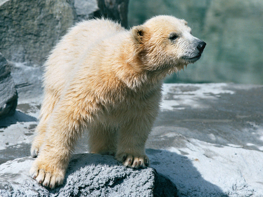 Polar bear cub, Roger Williams Zoo, Providence, Rhode Island, 2001.  Click for next photo.