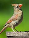 Female cardinal, 2003.