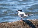 Tern on a rock, Trustom Pond National Wildlife Refuge, Rhode Island 2004.  Digiscoped with Canon S45 digital camera and Televue 85 telescope.