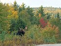 A bull moose shows himself for just a few seconds near Baxter State Park, Maine.