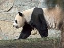 Panda at National Zoo, 2004