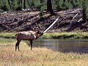 A bull elk bugles at an opponent across the Madison River west of Madison Junction, Yellowstone.  The two decided against crossing the river to joust and this one eventually wandered back to his herd.