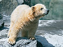Polar bear cub, Roger Williams Zoo, Providence, Rhode Island, 2001.